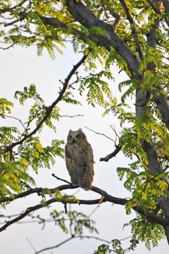 GH-owl-chick-Wayne-D-Lewis-DSC_0450