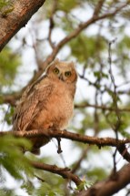 GH-owl-chick-Wayne-D-Lewis-DSC_0471