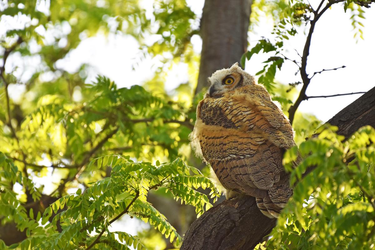 GH-owl-chicks-Wayne-D-Lewis-DSC_0320