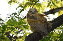GH-owl-chicks-Wayne-D-Lewis-DSC_0327