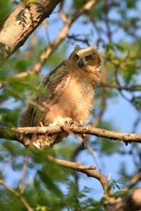 GH-owl-chicks-Wayne-D-Lewis-DSC_0372
