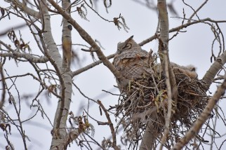 GH-owl-nest-Wayne-D-Lewis-DSC_0007