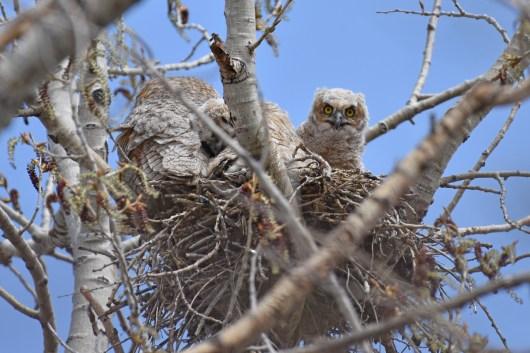 GH-owl-nest-Wayne-D-Lewis-DSC_0116