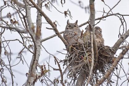 GH-owl-nest-Wayne-D-Lewis-DSC_0172