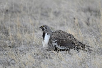 greater-sage-grouse-Wayne-D-Lewis-DSC_0148