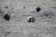 greater-sage-grouse-Wayne-D-Lewis-DSC_0162