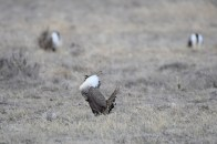 greater-sage-grouse-Wayne-D-Lewis-DSC_0189