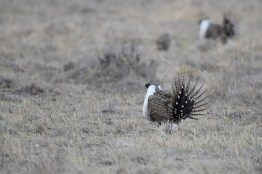 greater-sage-grouse-Wayne-D-Lewis-DSC_0199