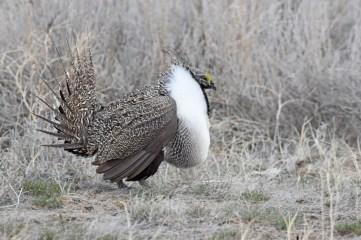 greater-sage-grouse-Wayne-D-Lewis-DSC_0419