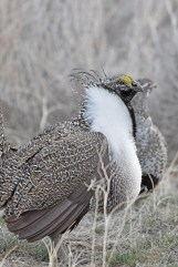 greater-sage-grouse-Wayne-D-Lewis-DSC_0438