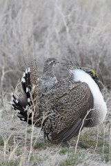 greater-sage-grouse-Wayne-D-Lewis-DSC_0441