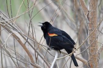 red-winged-blackbird-Wayne-D-Lewis-DSC_0732