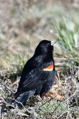 red-winged-blackbird-Wayne-D-Lewis-DSC_0902