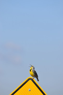western-meadowlark-Wayne-D-Lewis-DSC_0091