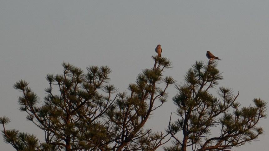 Prairie falcons