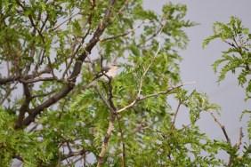 mockingbird-Wayne-D-Lewis-DSC_0586