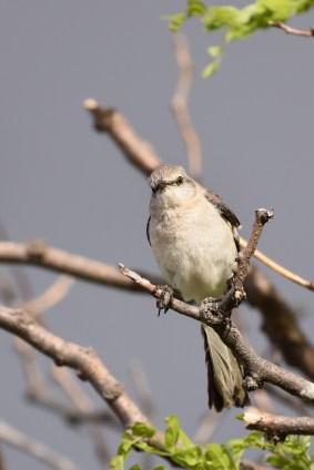 mockingbird-Wayne-D-Lewis-DSC_0605_1