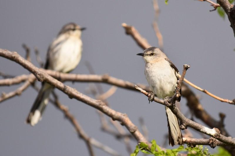 mockingbird-Wayne-D-Lewis-DSC_0607