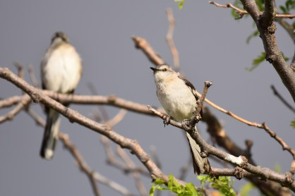 mockingbird-Wayne-D-Lewis-DSC_0608