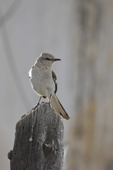 mockingbird-Wayne-D-Lewis-DSC_0618