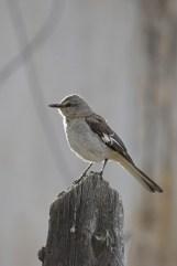 mockingbird-Wayne-D-Lewis-DSC_0625