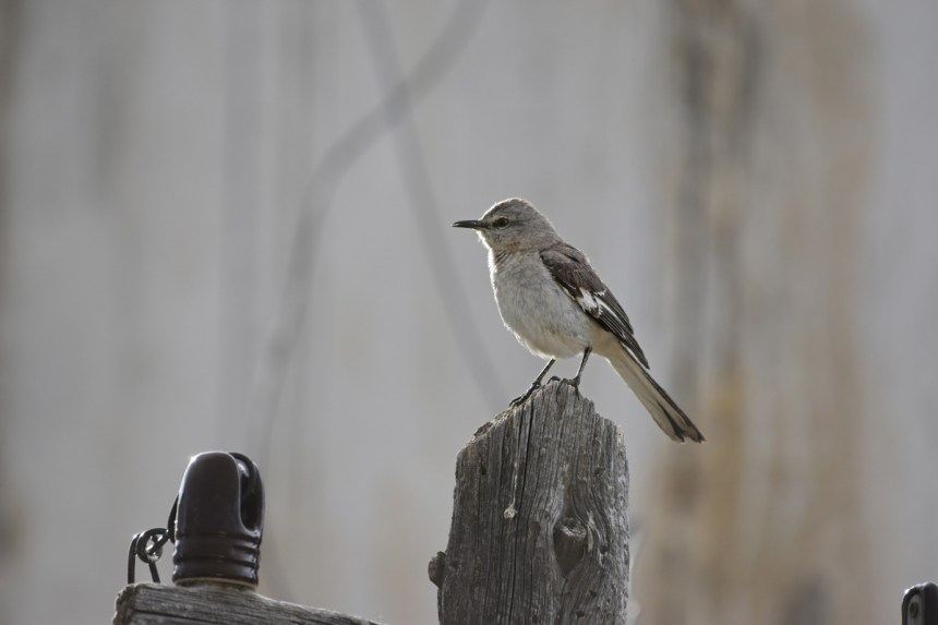 mockingbird-Wayne-D-Lewis-DSC_0626