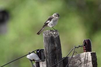 mockingbird-Wayne-D-Lewis-DSC_0629