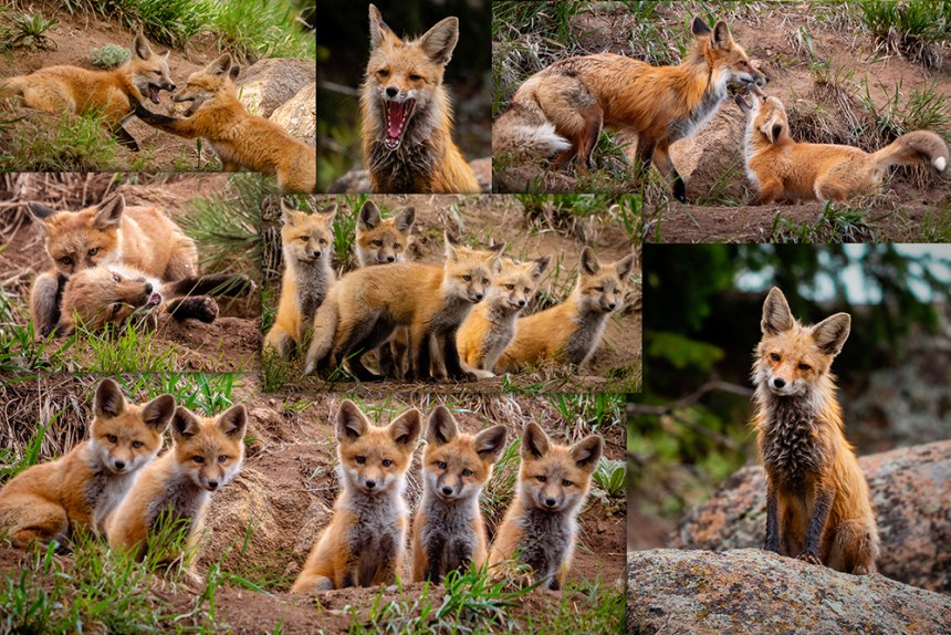 montage foxes blog