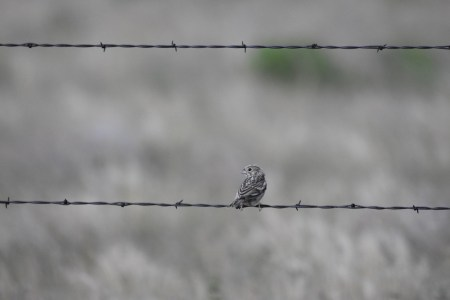 female-lark-bunting-Wayne-D-Lewis-DSC_0117