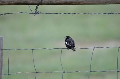 lark-bunting-Wayne-D-Lewis-DSC_0080