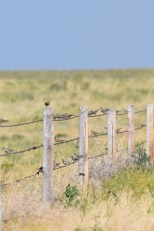 lark-bunting-Wayne-D-Lewis-DSC_0727
