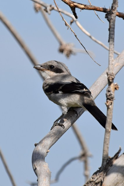 northern-shrike-Wayne-D-Lewis-DSC_0845