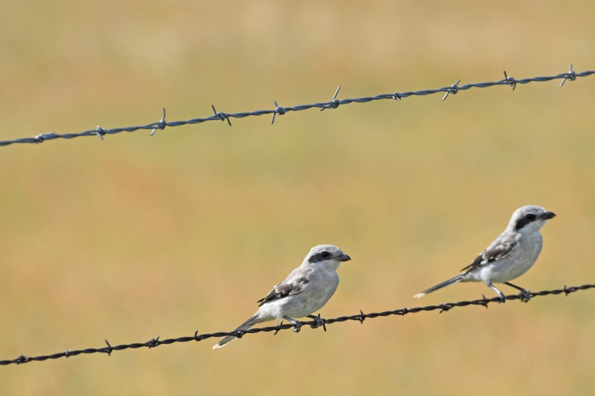 northern-shrike-Wayne-D-Lewis-DSC_0855