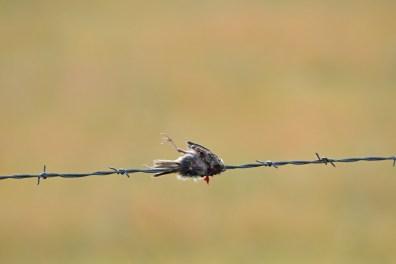 prey-northern-shrike-Wayne-D-Lewis-DSC_0851