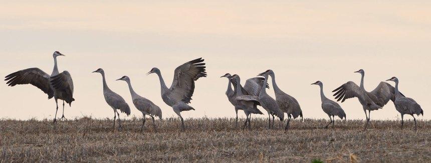 Sandhill-Cranes-by-Wayne-D