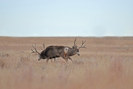 mule-deer-bucks-Wayne-D-Lewis-DSC_0150