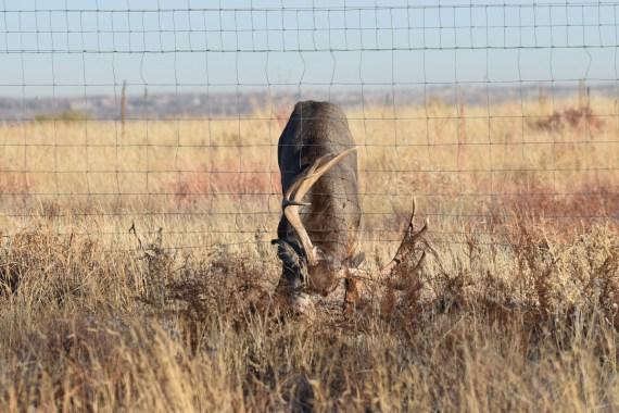 Bloody-MD-buck-fence-Wayne-D-Lewis-DSC_0273