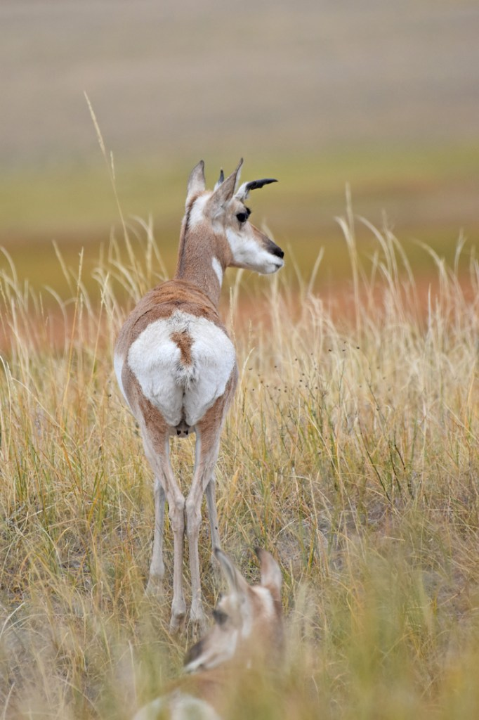Pronghorn female with horns