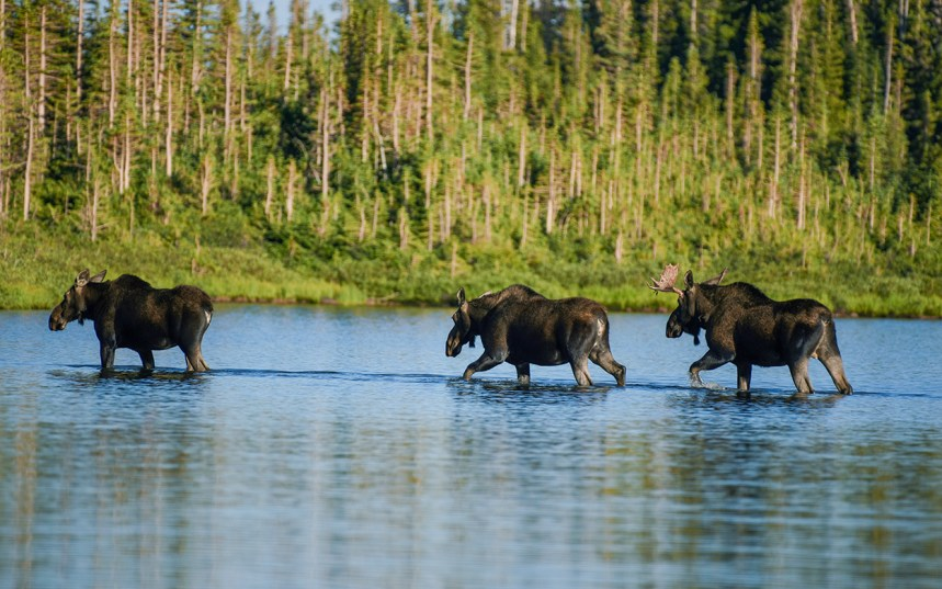 Moose crossing lake.