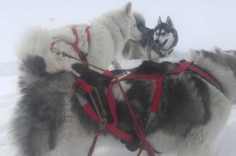 harnessed sled dogs