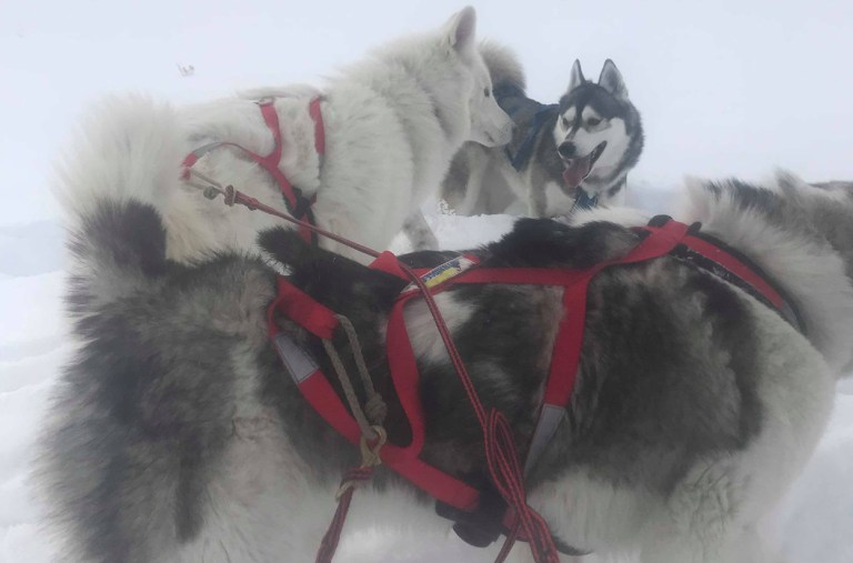 Sled dogs at Stagecoach