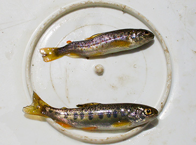 Brown Trout with Whirling Disease Signs