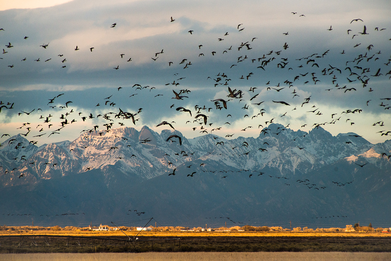 Sandhill cranes fill the skies of the San Luis Valley