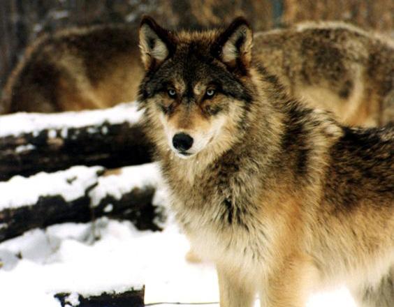 Gray wolf (Photo/USFWS)