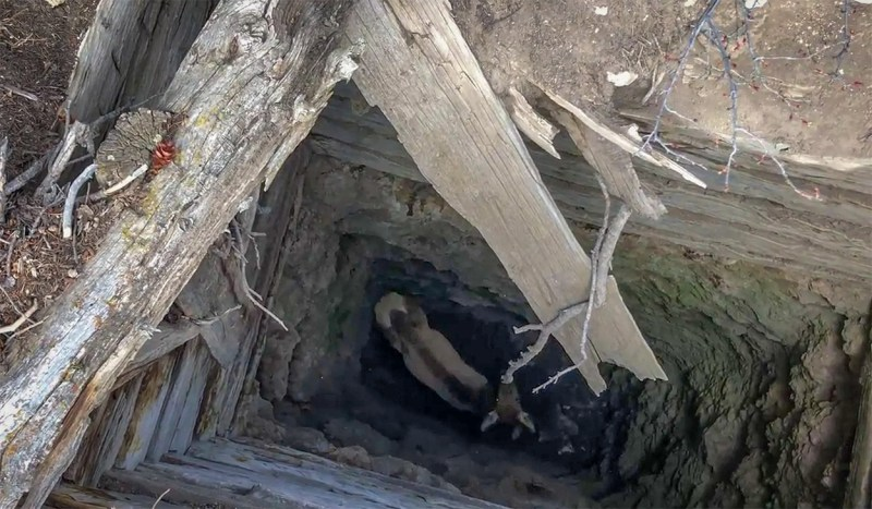 A cow elk stumbled into an old mine shaft