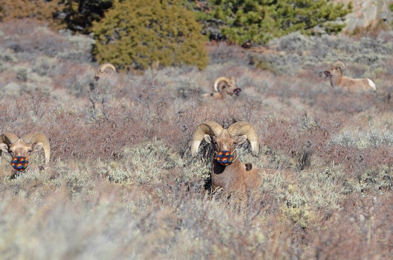 Bighorn Sheep with face masks