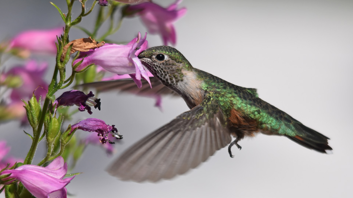 Featured hummingbird image