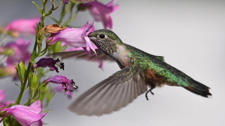 Featured hummingbird image