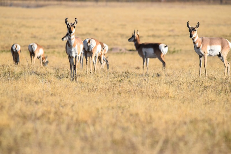 pronghorn does