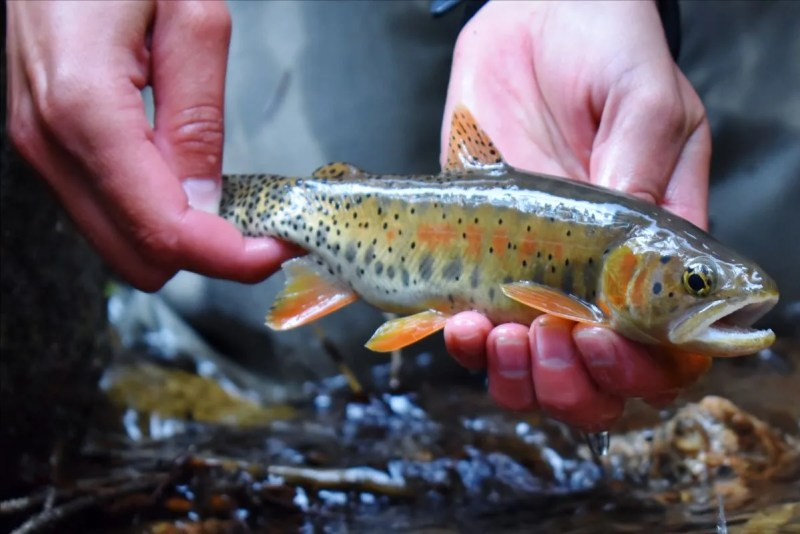 Greenback cutthroat trout are seen during spawning events on Bear Creek.